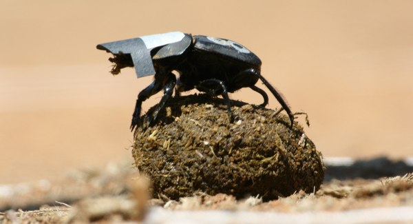 Dung beetle with visor