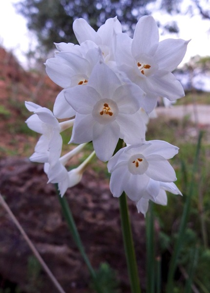 Paperwhite narcissus 2