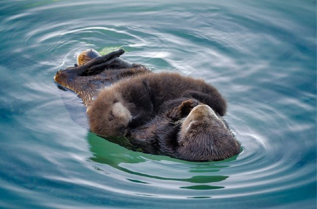Otter mom and pup