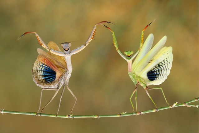 Dancing mantids